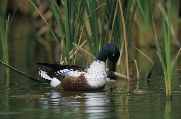 Northern Shoveler, Anas clypeata,male preening, Port Aransas, Texas, USA