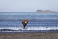 Corona, Lady Hook's spring cub, sprints toward us after his sibling was attacked by Evil Bastard. Kodiak grizzly bear (Ursus arctos middendorffi), Hallo Bay
