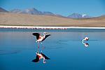 Andean Flamencos (Phoenicopterus andinus) at Laguna Cañapa, Chiguana, Salar de Uyuni