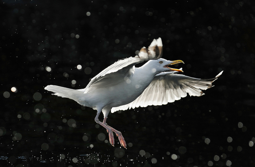 Herring gull, Larus argentatus, The Living Sea, North Atlantic, Flatanger, Nord-Trondelag, Norway.