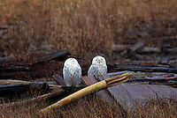 Snowy Owls (Bubo scandiacus) Female or Juvenile, sitting on Log at Boundary Bay Regional Park, Delta, BC, British Columbia, Canada - aka Arctic Owl, Great White Owl or Harfang