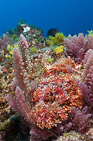 RM0164-D. Stone Scorpionfish (Scorpaena plumieri mystes), resting among algaes on rocky reef. Baja, Mexico, Pacific Ocean.<br /> Photo Copyright &copy; Brandon Cole. All rights reserved worldwide.  www.brandoncole.com