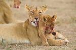 A mother lion cleans her cub on the Masai Mara plain in Kenya.