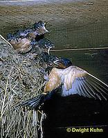 BA10-001z   Barn Swallow - parent feeding young - Hirundo rustica