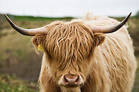 Portrait of Scottish Highland Cow, Scotland