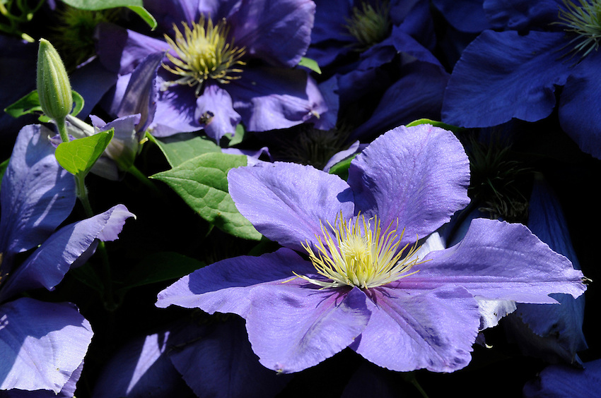 A spectacular mauve clematis bloom on an acreage lot in Flamborough, Ontario