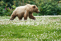 Alaska coastal brown (grizzly) bear walks in clover field in Lake Clark National Park Alaska.  Summer. <br /> <br /> Photo by Jeff Schultz/SchultzPhoto.com  (C) 2018  ALL RIGHTS RESERVED<br /> Amazing Views-- Into the wild photo tour 2018
