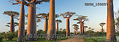 Tom Mackie, LANDSCAPES, LANDSCHAFTEN, PAISAJES, pano, photos,+Africa, Madagascar, Tom Mackie, UNESCO World Heritage Site, Worldwide, african, baobab tree, big, blue, country lane, environ+ment, exotic, flora, forest, gigantic, green, group, high, horizontal, horizontals, huge, landscape, large, massive, morondav+a, nature, old, outdoor, panorama, panoramic, path, pathways, pathways & walls, plant, road, scenery, scenic, tall, tourism,+track, tranquil, travel, tree, trees, tropical, trunk,Africa, Madagascar, Tom Mackie, UNESCO World Heritage Site, Worldwide,+,GBTM150207-2,#L#
