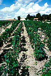 France: Bordeaux. .Vines and museum at Chateau Mouton-Rothschild..Photo Copyright Lee Foster, 510/549-2202, lee@fostertravel.com, www.fostertravel.com...Photo #: frbord105