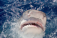 tiger shark, Galeocerdo cuvier, lunging for bait, showing distintively-shaped teeth, and ampullae of Lorenzini (electro-sensory pores) on snout, North Shore, Oahu, Hawaii, USA, Central Pacific Ocean