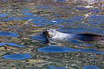 Fur Seal, Elsehul Bay