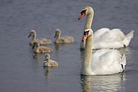 Mute Swan (Cygnus olor) Parents with Goslings