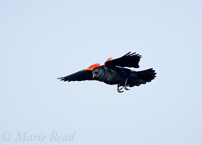 Red-winged Blackbird (Agelaius phoeniceus) male displaying its red epaulettes as it flies in to land, Montezuma National Wildlife Refuge, New York, USA