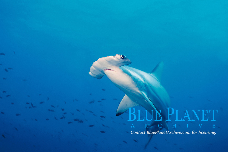 scalloped hammerhead shark, Sphyrna lewini, Galapagos Islands, Ecuador, East Pacific Ocean