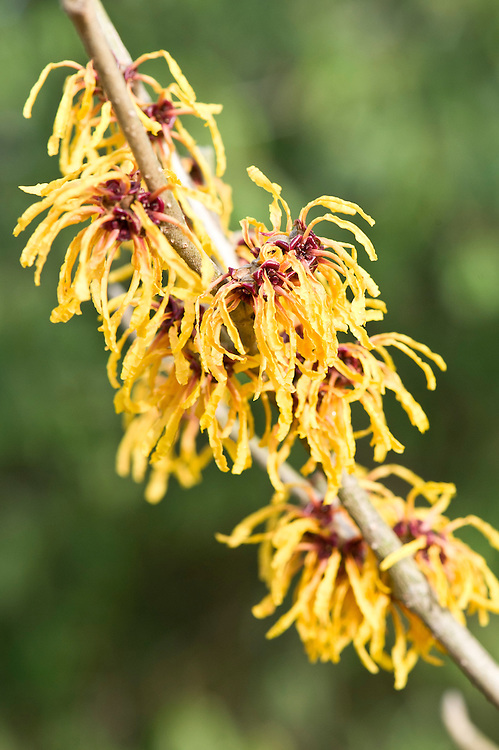 Witch hazel (Hamamelis x intermedia 'Orange Peel'), end January.