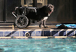Paraplegic Nieko takes a break from swimming during the 10th annual Pooch Plunge at the Carson City Aquatics Center, in Carson City, Nev., on Saturday, Sept. 22, 2018. The event is a fundraiser for the Carson Animal Services Initiative which supports Nevada Humane Society services in Carson City.<br /> Photo by Cathleen Allison/Nevada Momentum