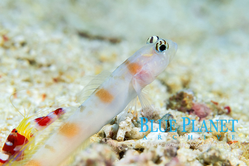 shrimp, Alpheus randalli & partner goby, Amblyeleotris steinitzi; goby acts as watchdog for shrimp, which constructs burrow used by both, Sipadan Island, off Borneo, Malaysia (Celebes Sea)