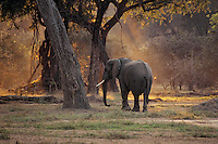 African Elephant bull (Loxodonta africana) wandering through forest along Zambezi River in Mana Pools National Park, Zimbabwe.  Early morning.