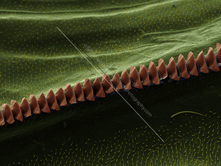 Scanning electron microscope  image of the sound producing comb of the Field Cricket (Gryllus pennsylvanicus).  This specimen was collected in the Finger Lake Region of New York State.  The comb is rubbed against the underside of the opposite wing.  Only male crickets produce the characteristic sound.  The magnification was 182x and the field of view of this image is  .5mm wide.