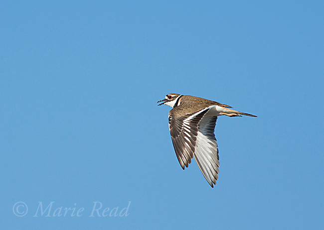 Killdeer (Charadrius vociferus) calling in flight, Bolsa Chica Ecological Reserve, California, USA