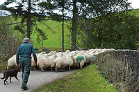 Farmer and sheep dog drive flock of sheep in the Doone Valley, Exmoor in North Devon, UK