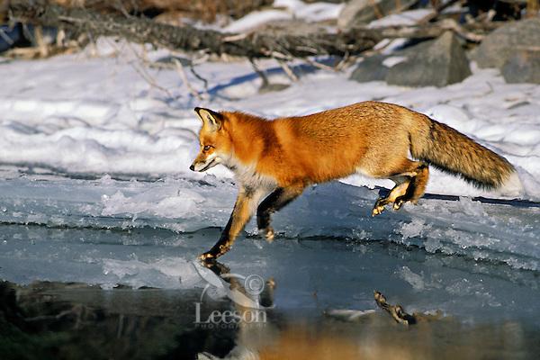 Red fox (Vulpes vulpes) along shoreline of frozen lake.  winter.