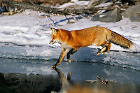 Red fox (Vulpes vulpes) along shoreline of frozen lake.  winter.