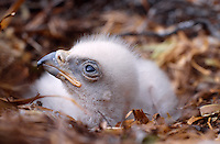 Golden Eagle (Aquila chrysaetos),Week old Golden Eagle chick in eyrie showing egg-tooth on tip of bill,Argyll, Scotland,early May