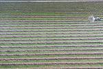 Foto: VidiPhoto<br /> <br /> DODEWAARD &ndash; Het ziet er uit als een ernstig chemische bespuiting, maar niets is minder waar. Fruitteler Thomas de Vree uit Dodewaard voorziet donderdag zijn perenbomen van een laag witte klei en verandert zo zijn boomgaard in een winterlandschap. Het modderspuiten is bedoeld om te voorkomen dat de perenbladvlo eitjes legt. Zelfs de larven van het insect worden vernietigd, terwijl de natuurlijke vijanden als oorwormen en roofwantsen gespaard blijven. Het is de meest biologische, maar ook een zeer effectieve, manier van het voorkomen schade aan bomen en (later) vruchten. Sommige fruittelers spuiten zelfs de modder bij hoge temperaturen om zo zonnebrand tegen te gaan. Omdat het spuiten met klei relatief goedkoop is, wordt het in de fruitsector steeds meer en vaker toegepast. Nadeel is dat het na iedere regenbui opnieuw aangebracht moet worden. De Vree teelt planetproof. Uit wetenschappelijk onderzoek blijkt dat dit net zo duurzaam is als biologisch.