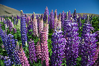 Close up of Flowering Lupins in shade of purple and pink, near Tekapo, Mackenzie Country, Canterbury, South Island, New Zealand - stock photo, canvas, fine art print