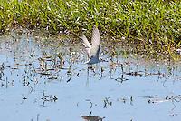 Whiskered Tern, Fogg Dam, NT, Australia
