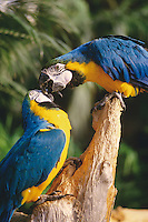 Two macaws playing affectionately and giving each other a kiss, Victoria, BC.