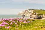 Pink Thrift growing wild on the cliffs at Freshwater Bay, Isle of Wight