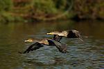 Cormorants in Flight Double-crested Cormorant Sepulveda Wildlife Refuge Southern California