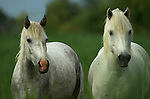 Camargue Pony, Horse, Equus caballus, portrait, one of the olderest breeds in world, descendent of primative breeds, Horse of the Sea, Marshland of Rhone Delta, France.France....