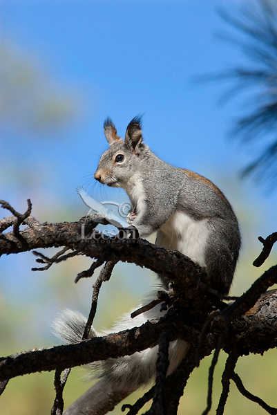Abert's Squirrel (Sciurus aberti).  South Rim, Grand Canyon, Arizona.
