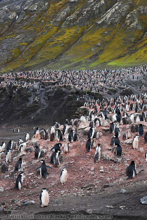Chinstrap penguin colony, Deception Island, Antarctica.
