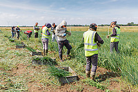 Migrant labour harvesting spring onions - Lincolnshire, August