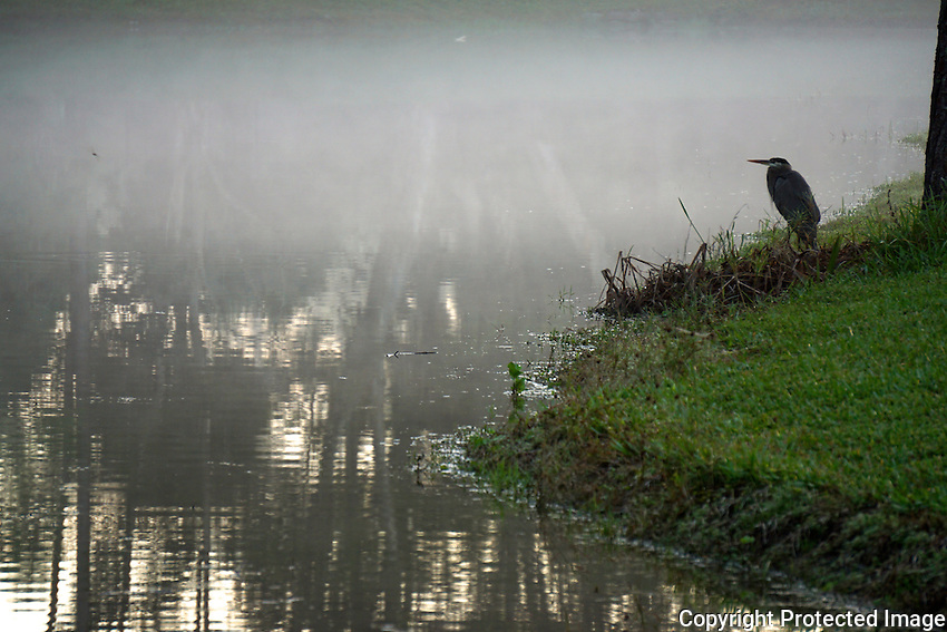Blue Heron standing guard along the shoreline of a lake located in my rear yard on a foggy morning.