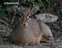 0906-0808  Kirk's Dik-dik, Madoqua kirkii  © David Kuhn/Dwight Kuhn Photography.
