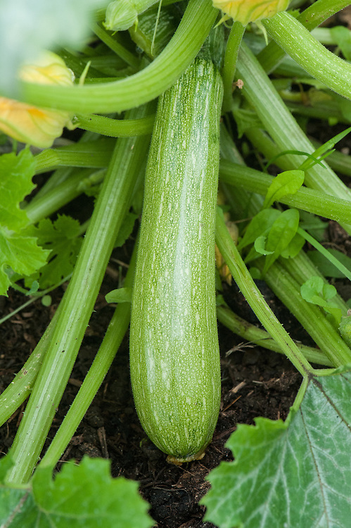 Courgette 'Verde d'Italia', early September.