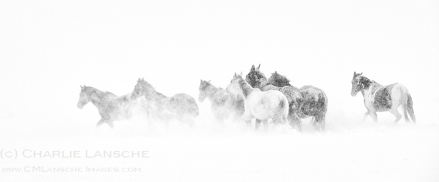 December Blizzard. Nervous range horses try to escape heavy winds and drifting snow in white-out conditions as another winter storm pounds Summit County, Utah. We haven't seen such weather since the winter of 2012. This image speaks to the hardships endured by ranchers and livestock during a brutal winter in Rocky Mountain West. December 23, 2015.