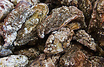 Whitstable Oyster Festival, Kent England 2007, Close up of oysters.