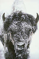 Bison (Bison bison) covered with ice and snow on 40 below morning.  Yellowstone Nat. Park, Wy.  Winter.