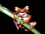 Frog, sp. unknown, Sabah Borneo, bog eyed looking.Borneo....