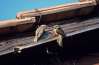 Short-toed Treecreeper, Certhia brachydactyla, male feeding female on Roof top, Oberaegeri, Switzerland, April 1995