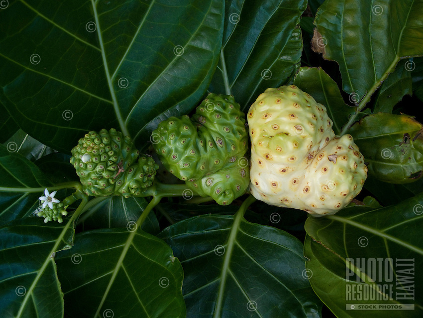 heart shaped noni fruit in four stages of growth,a medicinal Hawaiian fruit