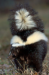 Striped Skunk (Mephitis mephitis) - Minnesota, showing bushy stripy striped tail.USA....