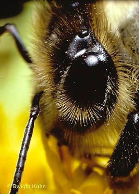 1B06-003b   Honeybee eye  -  Apis mellifera