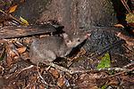 Long-nosed bandicoot (Perameles nasuta) licking the  base of the tree.